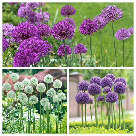 how to use alliums in a naturalistic garden design