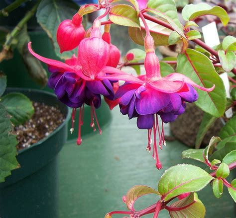 fuchsia plants pictures meanings of the fuchsia plant
