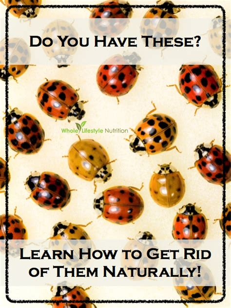 how to get rid of ladybugs in the house top 10 natural ways to get rid of ladybugs aka asian lady autos post