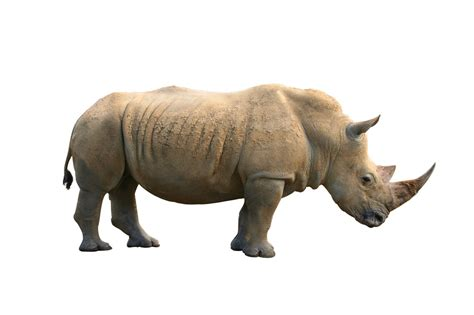 imagenes animales sin fondo 非洲犀牛动物高清图片 素材中国16素材网