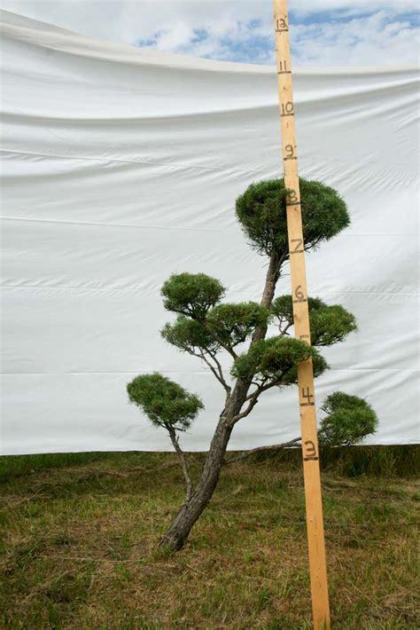 scotch pine topiary 187 scotch pine topiary tree 99 plants beautiful nursery
