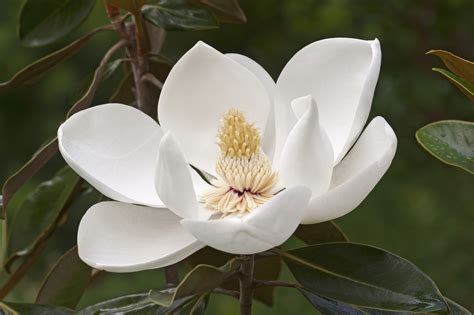 southern magnolia tree care growing southern magnolias in your garden