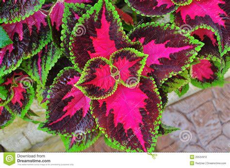 three colours plant the coleus blumei benth stock photo