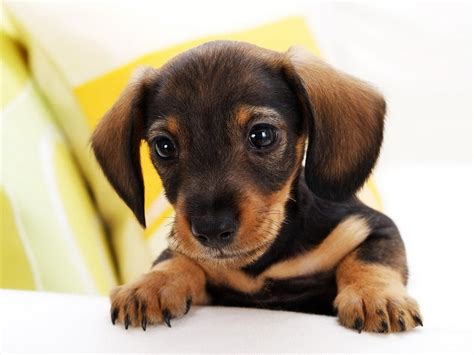 dogs breed small breeds search engine at search