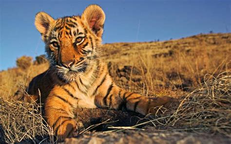 facts about the new year tiger india s tiger population sees 36 increase news network
