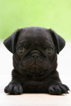 i want a pug so bad 1000 images about fluffy on black pug puppies black pug and pug