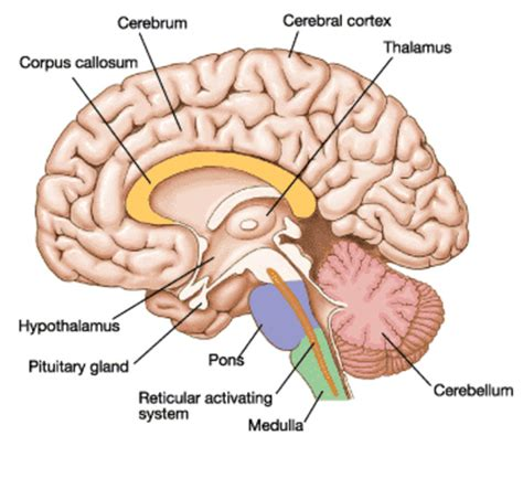 diagram of diencephalon anatomy image organs the human brain anatomy cerebellum