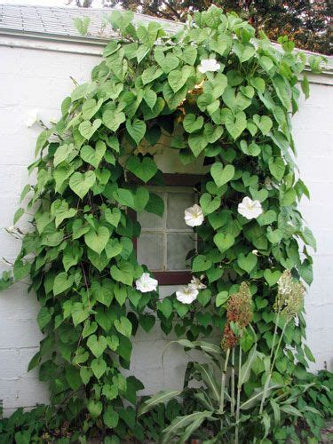 fast climbing plants 5 fast climbing vines for your garden