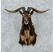 Goat Head Black Catalina Mount 12844  The Taxidermy Store