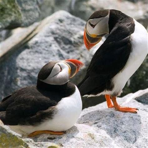 this little puffin english wooks cute puffins creatures