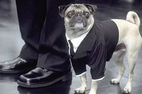 the singing pug style cutest dogs of all time 9thefix
