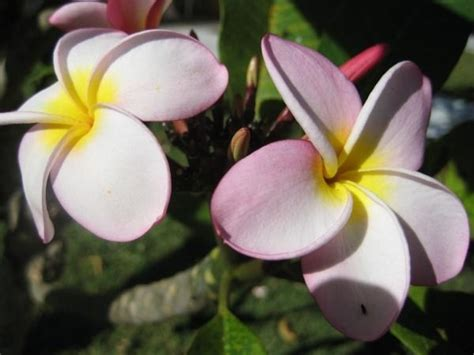 frangipane fiore frangipane fiore piante da giardino fiore frangipane