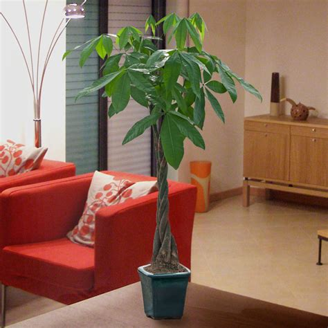 large braided money tree indoor office plants by large braided money tree indoor office plants by