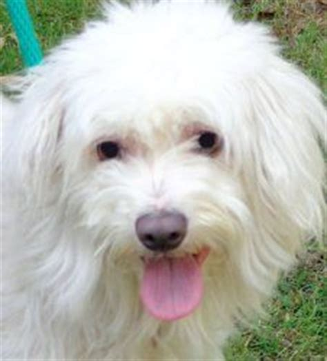 half poodle half yorkie puppies on maltese dogs adoption and manchester