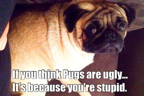 are pugs dumb the gallery for gt pugs