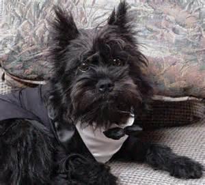 affenpinscher mix puppies for sale gallery for gt affenpinscher terrier mix