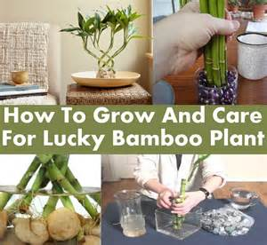 how to grow and care for lucky bamboo plant diycozyworld home improvement and garden tips