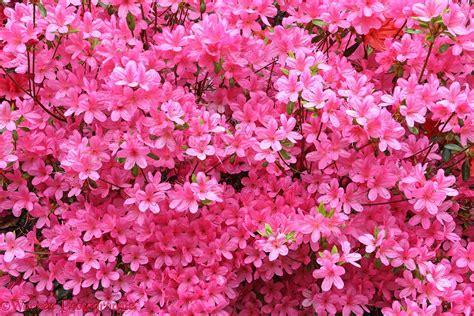 Azalea Shoo pink azalea flowers photo wp27988