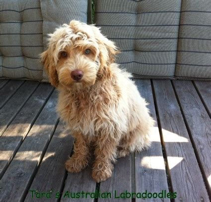 labradoodles puppies for sale perth papu 1 jpg