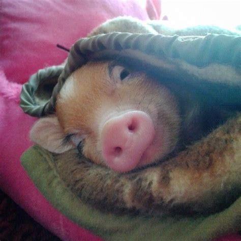 Pig Blankets For Sale by Real Pigs In Actual Blankets We So Needed This