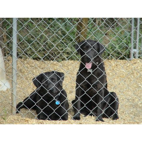 lab puppies for sale in alabama puppies for sale labrador retriever labrador retrievers labs labradors f