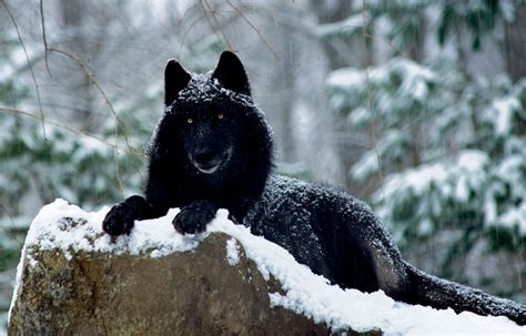 White Wolf Scientists Say The Quot Black Wolves Quot Are Black Wolf American