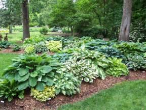 Hosta Garden Ideas Dr Dan S Garden Tips Handsome Hostas