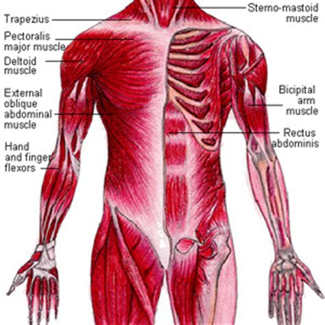 muscular system diagram bbdamulag human muscular system a