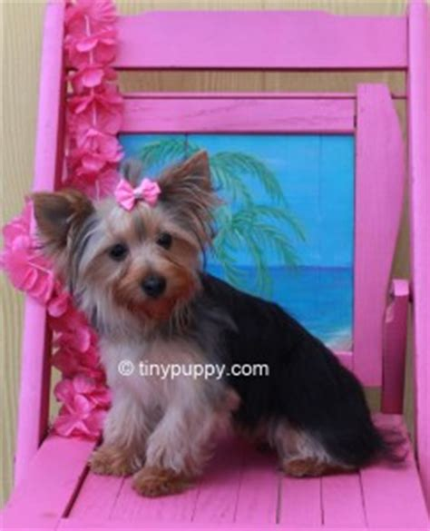 blue and gold teacup yorkie beautiful yorkie denni chion lines tinypuppy