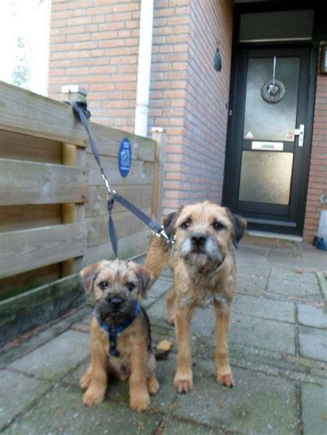 1000 ideas about border terrier on border