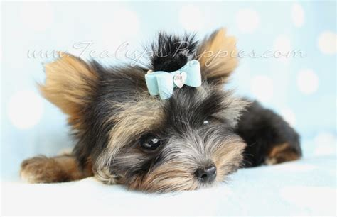 parti color yorkie parti colored yorkie teacup yorkies yorkie puppies