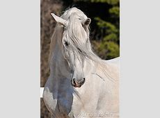 Andalusian Stallion Portrait Royalty Free Stock Images ... Free Clipart Images For Holidays