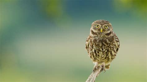 wallpaper owl eyes branch hd animals