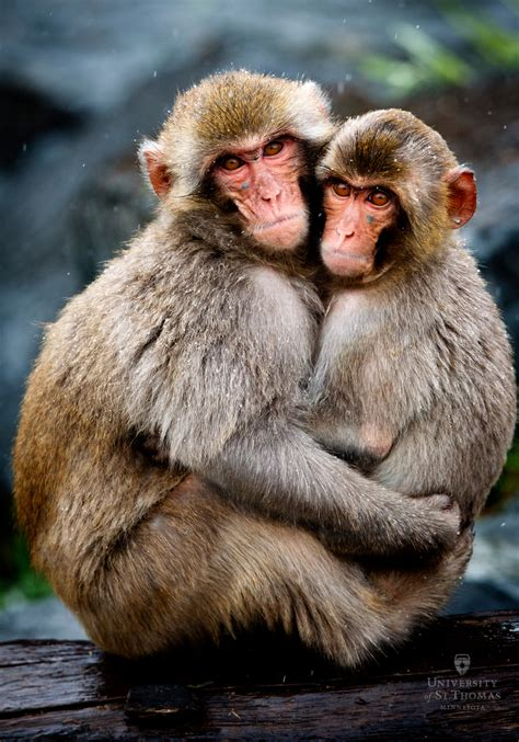 Not Sleeping With Monkey Ban Monkey Ibnlivecom Cnn Ibn by Student Study Finds Snow Monkeys Just Wanna St