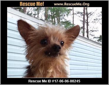 yorkie rescue me florida yorkie rescue adoptions rescueme org