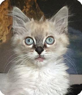 adoption nashville nashville tn ragdoll meet mcgruber a kitten for adoption