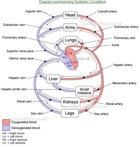 arteries diagram systemic blood circulation diagram