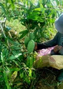Bibit Jeruk Santang Madu Hijau juli 2012 buah buah impian