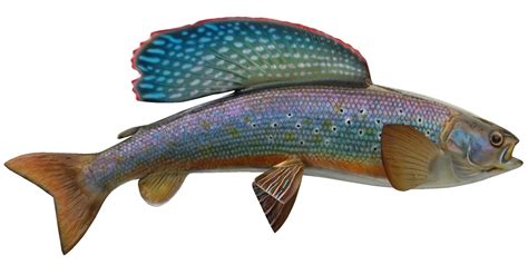 Colors That Go With Black And White by Arctic Grayling Mounts By King Sailfish Mounts