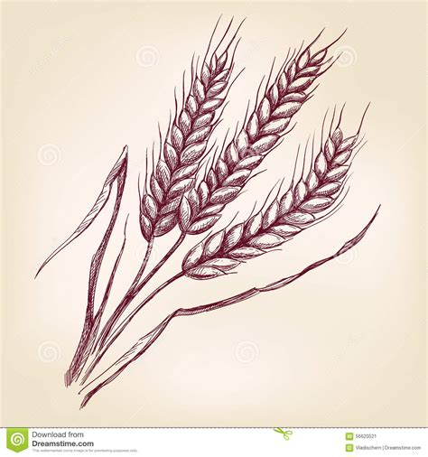 ears of wheat hand drawn vector illustration sketch stock