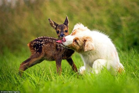 is 12 weeks to get a puppy australian shepherd puppy adopts orphaned fawn