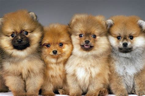 facts about pomeranian puppies 10 amazing things about pomeranian dogs pomeranian facts