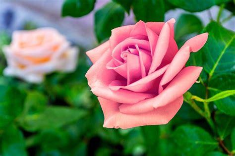 significato fiori rosa rosa significato significato fiori significato