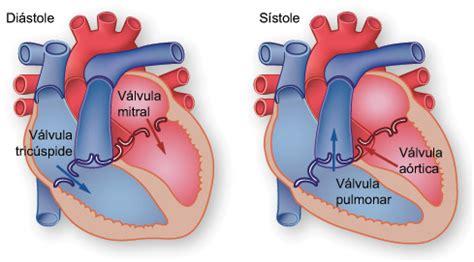 imagenes de corazones del cuerpo humano 191 c 243 mo funciona el coraz 243 n cardiosalud