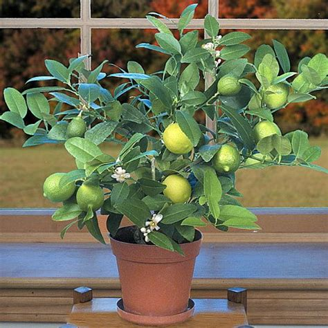 new year lime tree the 5 best large houseplants houseplant
