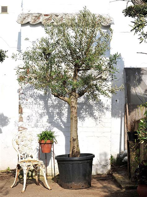 open crown olive tree for sale free delivery the norfolk olive tree company