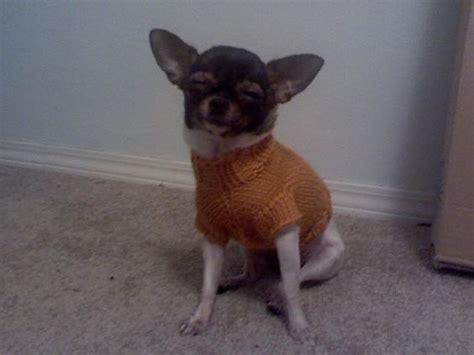 chihuahua sweater knitting pattern darby s cabled sweater pattern chihuahua sweater