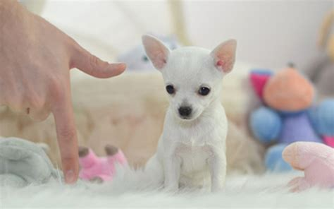buy dogs best place to buy teacup puppies small dogs for sale