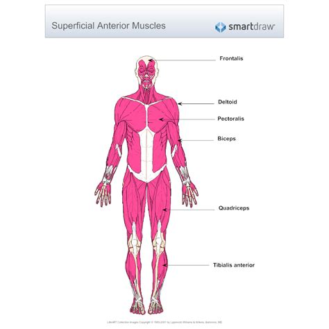 muscles diagram muscular system diagram