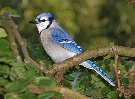blue jay photograph by fl collection